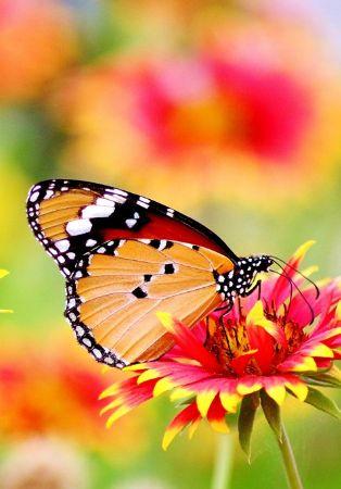 Até onde nos levam as borboletas?