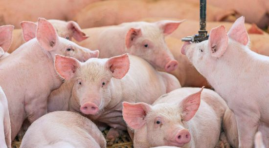 Declaração de existências de suínos - doença de Aujeszky