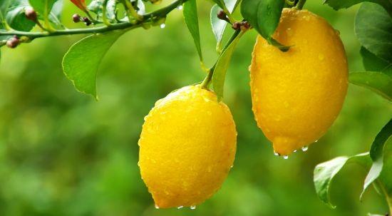 Psila Africana dos citrinos - Obrigatoriedade de poda e tratamento