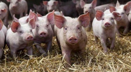 Doença de Aujeszky - declaração de suínos