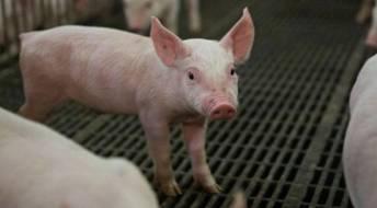 Ver Declaração de existências de suínos - doença de Aujeszky