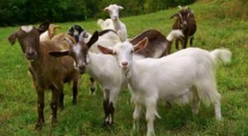 Declaração de existências de ovinos e caprinos