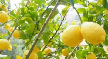 Obrigatoriedade de poda e de tratamento de citrinos infestados com a Psila Africana dos Citrinos